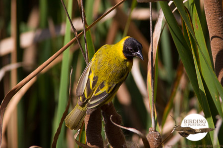 Male Black-headed Weaver