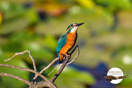 Our resident Kingfisher