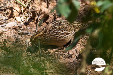 The Quail in the garden