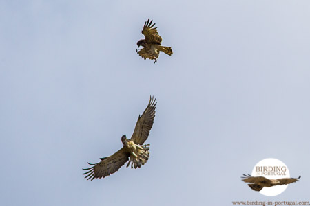 Short-toed Eagles scrapping above the Plains