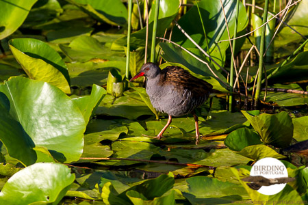 """Our"" Water Rail"