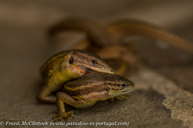 Large Psammodromous Lizards mating