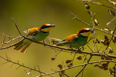 European Bee-eaters doing what it says on the tin!