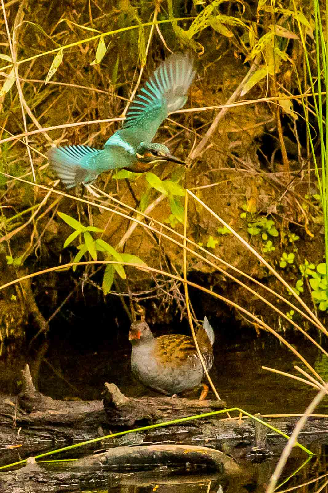 Common Kingfisher with Water Rail